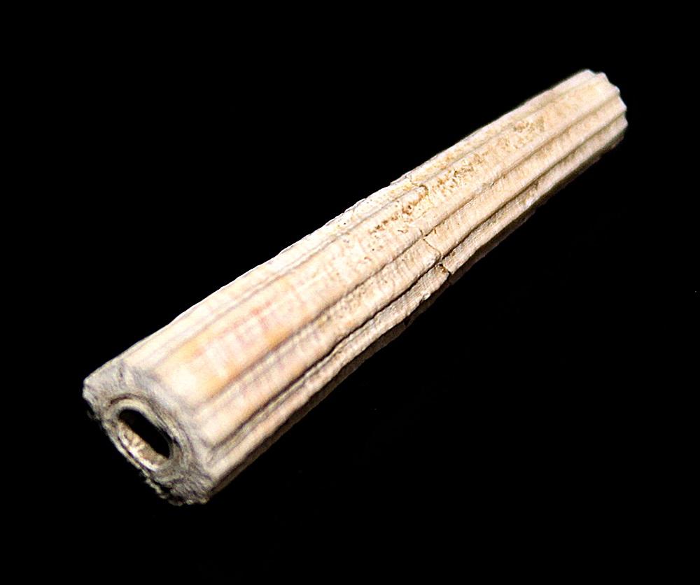 Dentalium inaequicostatum, Quattro Castella (RE)