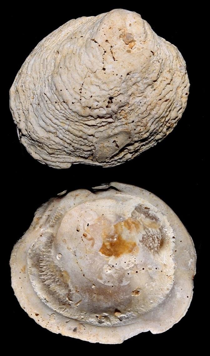 Chama benoisti, Miocene dell'Aquitania