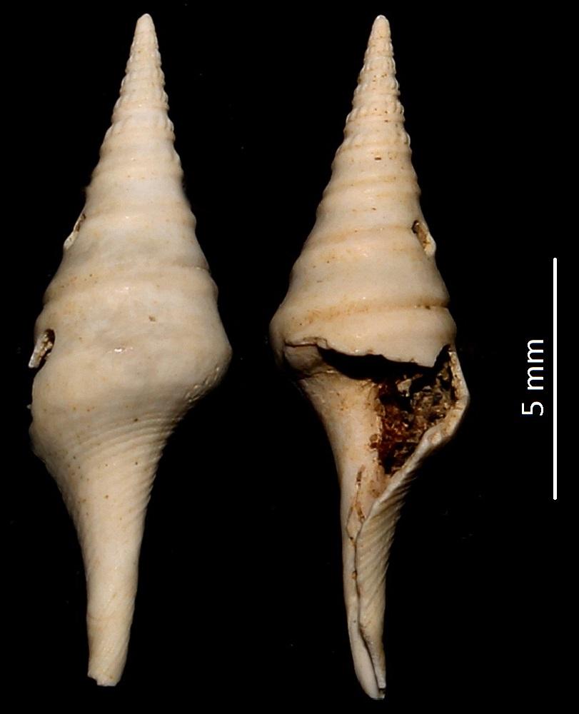 Clavatula carinifera var. burdigalensis? Miocene del bacino dell'Aquitania