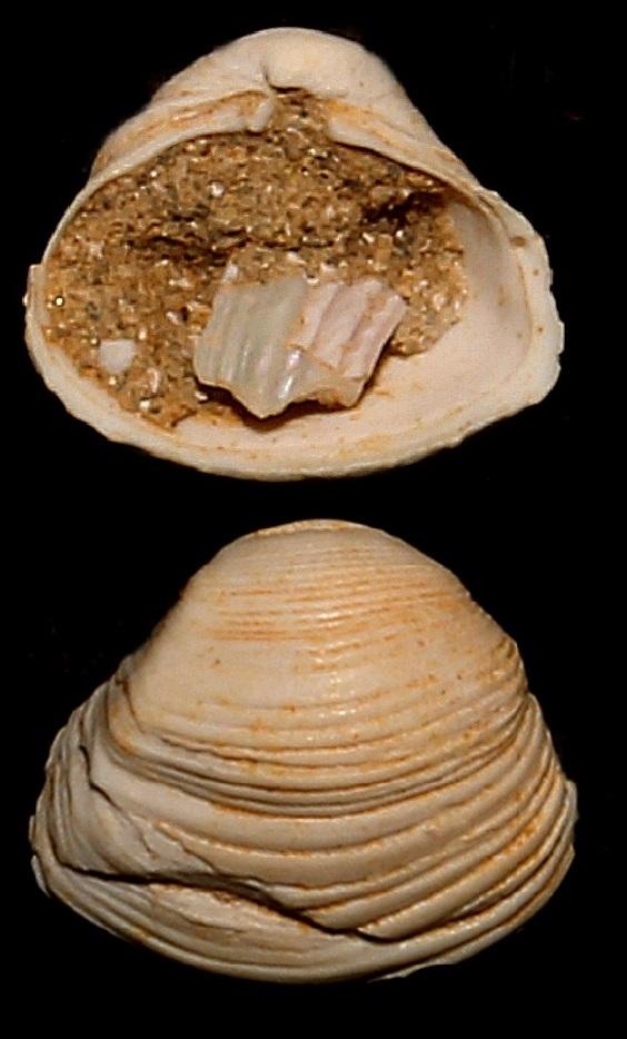 Corbula confusa, Miocene dell'Aquitania