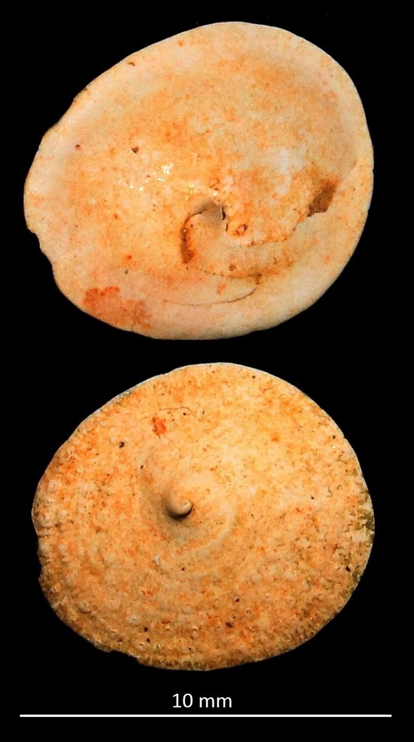 Calyptraea chinensis var. taurostriatellata, Miocene dell'Aquitania