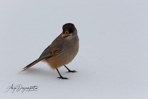 Kuukkeli - Siberian Jay - Unglückshäher