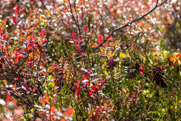 Beerensträucher im Herbstkleid