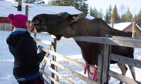 Zu Besuch auf einer Elchfarm in Schweden