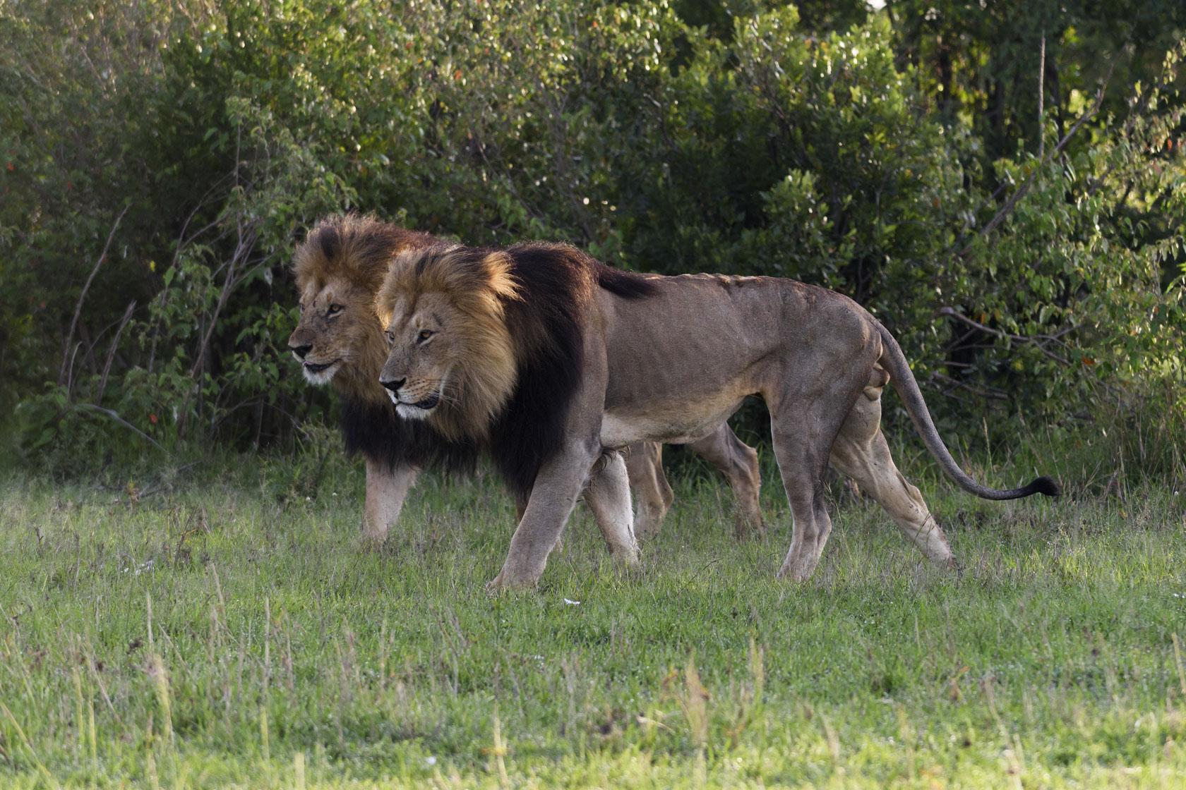 Blacky und Lipstick sind nicht so abgemagert – wie man es an den anderen Fotos sehen kann –, sondern extrem angespannt und mal wieder auf der Flucht vor Büffeln. Während andere Löwen – und sogar Löwinnen – häufig Büffel reißen, haben sie nur Schiss