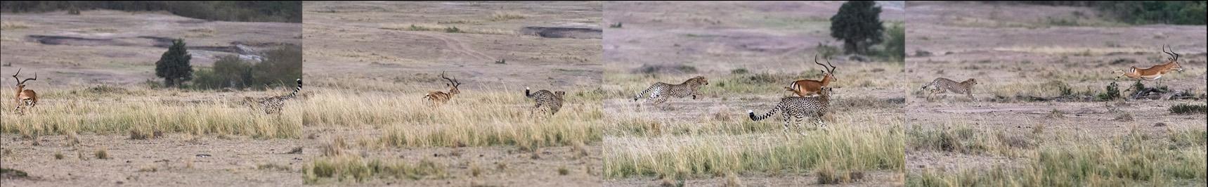 Als der erste Gepard konditionell am Ende war, lauerte bereits ein zweiter auf das fliehende Impala, es drehte aber im letzten Moment ab