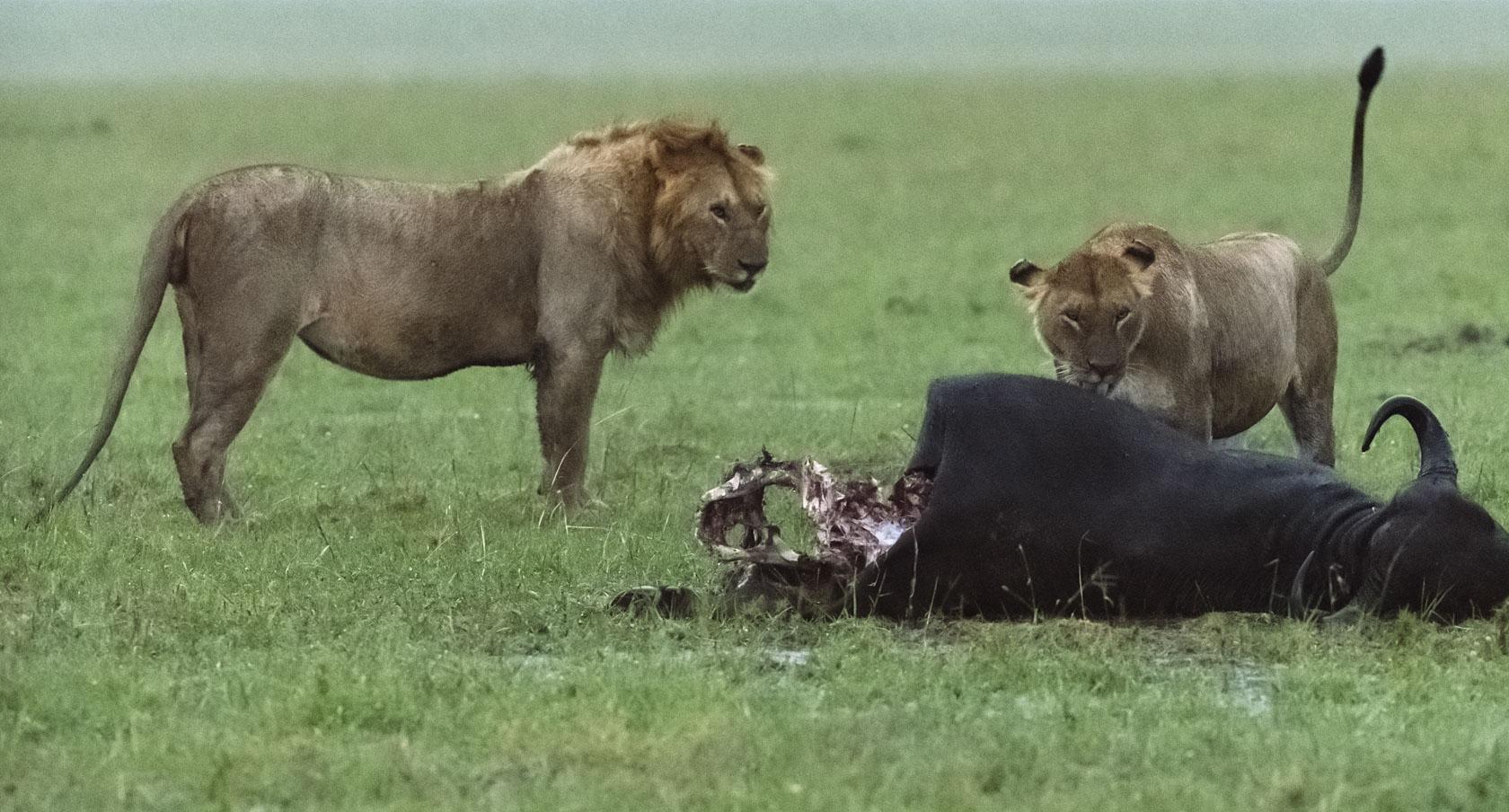 Die männlichen Löwen greifen die Löwin jetzt aber nicht an, sondern lassen sie fressen. Vielleicht ein Zeichen dafür, dass sie nun im Rudel akzeptiert ist