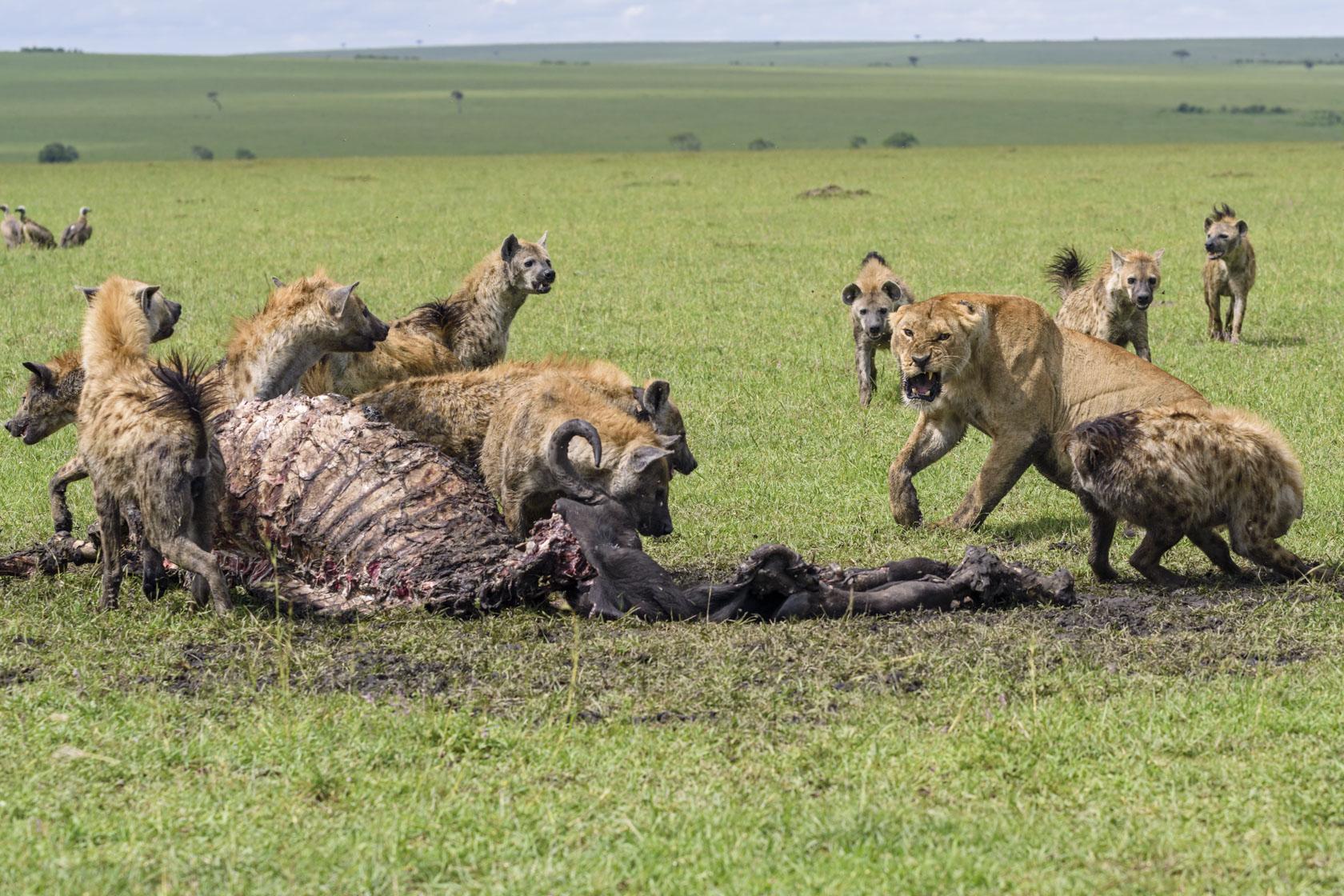 Als sich die männlichen Löwen am nächsten Morgen zum Schlafen in eine Lugga verzogen haben, obsiegen die Hyänen doch noch und vertreiben die Löwin von den Resten des Büffels