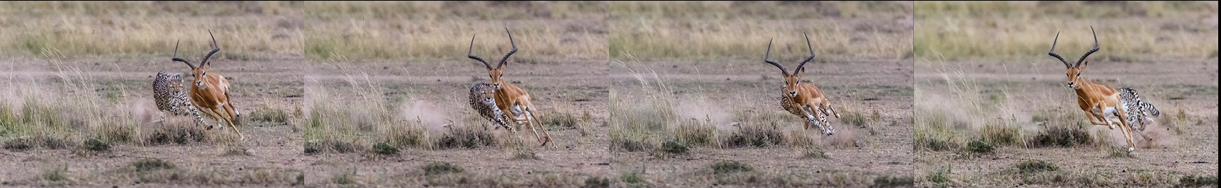 Der Gepard war bereits nach kurzer Zeit auf Schlagdistanz und es sah so aus, als wenn die Antilope keine Chance hätte