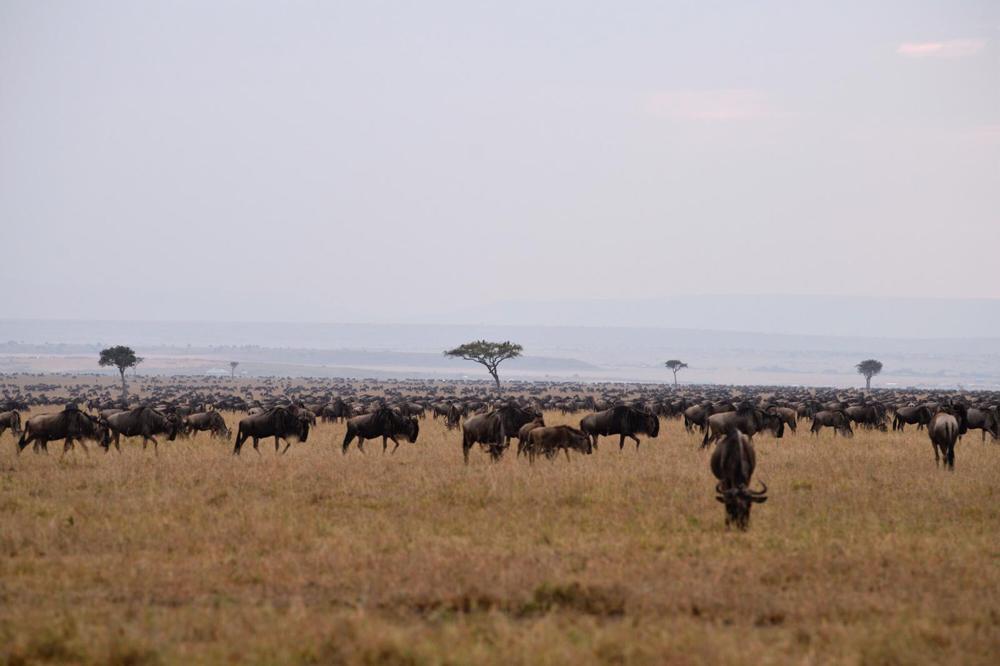 Gnuherden Masai Mara, Kenia - Fotoworkshop Uwe Skrzypczak