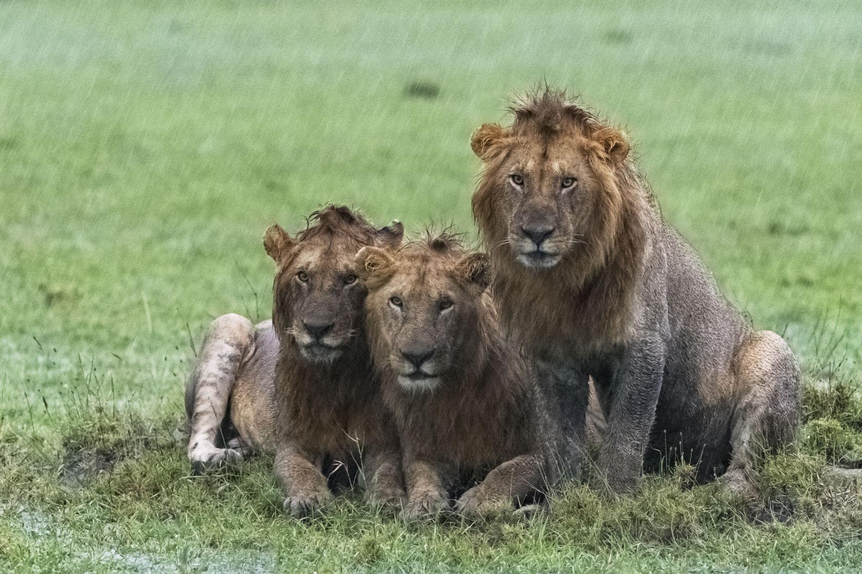 Ein dritter pudelnasser Löwe gesellt sich zu den beiden anderen. Ihre argwöhnischen Blicke lassen vermuten, dass sie uns Fotografen immer noch für Fressrivalen halten
