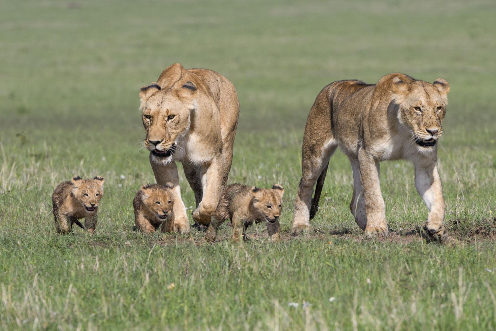 Die beiden Löwinnen schieben die Babys jetzt praktisch vor sich her und können sie so zusammenhalten