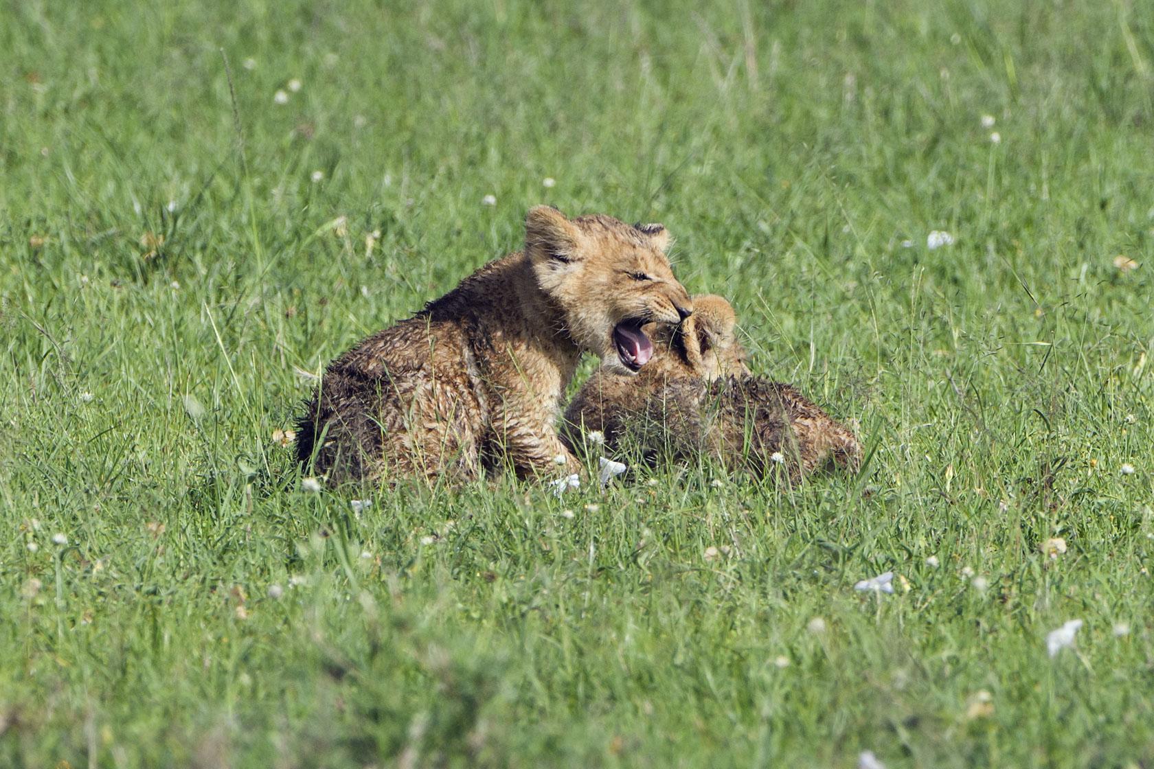 Zwei der Babys sind zu weit vorgeprescht und rufen fiepend nach der Mutter