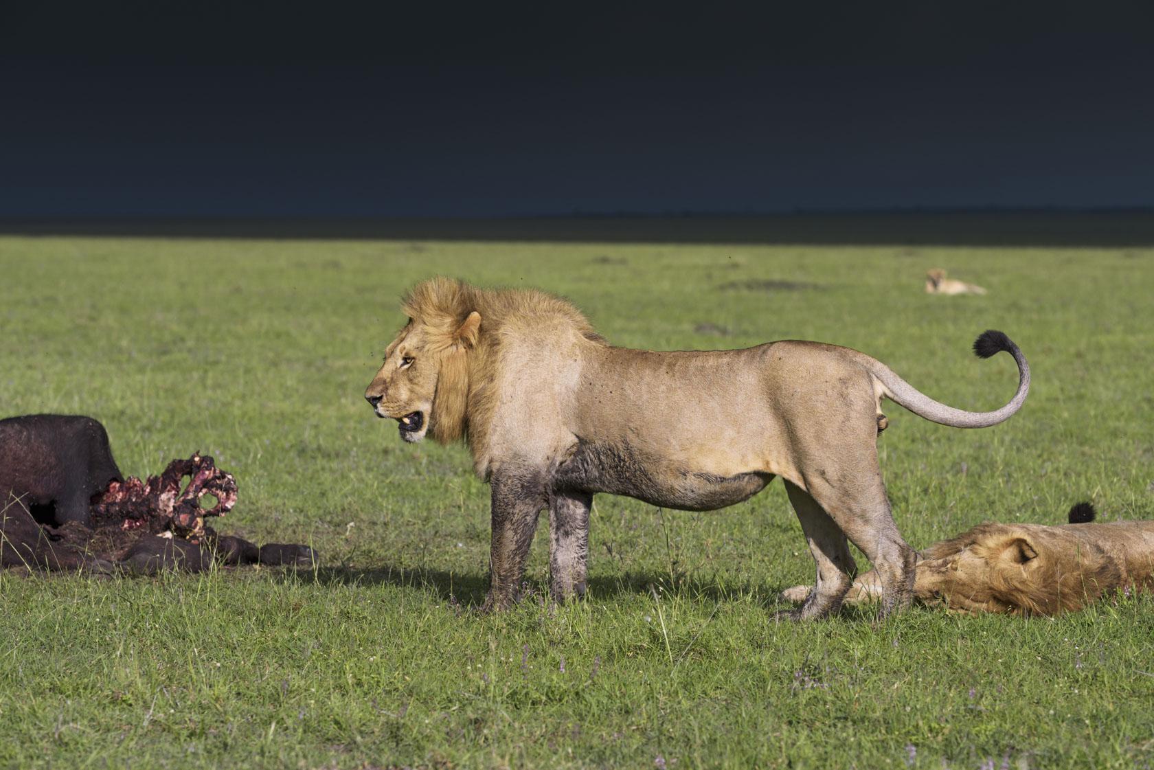 Einer hungrigen Löwin (im Hintergrund), die sich vor einigen Tagen zu den vier Löwen gesellt hat, verwehren die männlichen Tiere den Zugang zu ihrem Riss