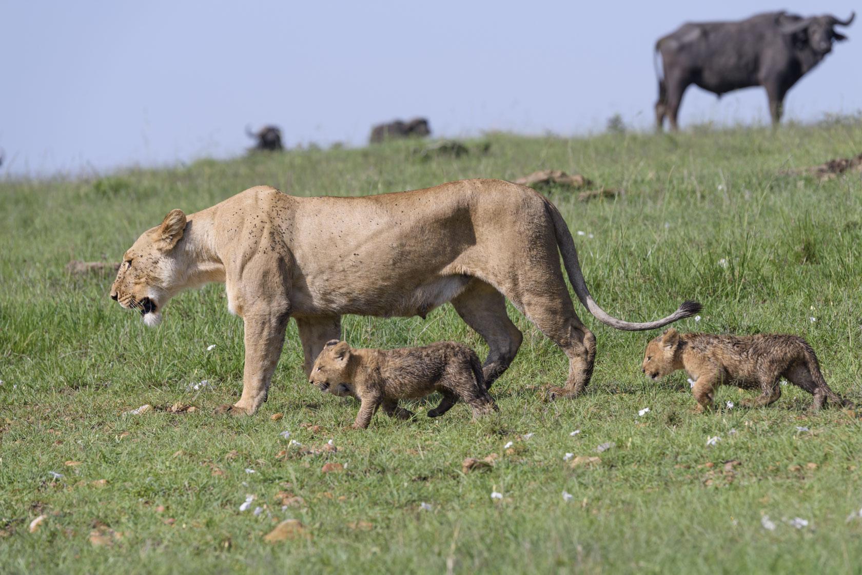 Als Büffel auftauchen – die Raubkatzenbaby-Killer schlechthin – bleiben die Löwenbabys ganz nahe bei ihrer Mutter