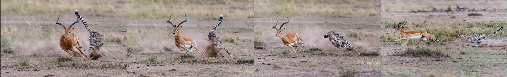 Ein schneller Richtungswechsel und aufwirbelnder Staub bremsten den Geparden erneut aus, er kam nicht mehr auf Schlagdistanz heran