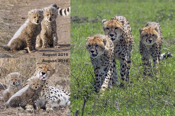Die bekannte Gepardin Malaika mit ihren zwei überlebenden, hier ca. 8 Monate alten Jungs. Von ihrem Wurf hatten nur zwei Babys die ersten vier Wochen überlebt. Eins der beiden Babys war damals verletzt und ich war jetzt im März erstaunt, dass es lebt.