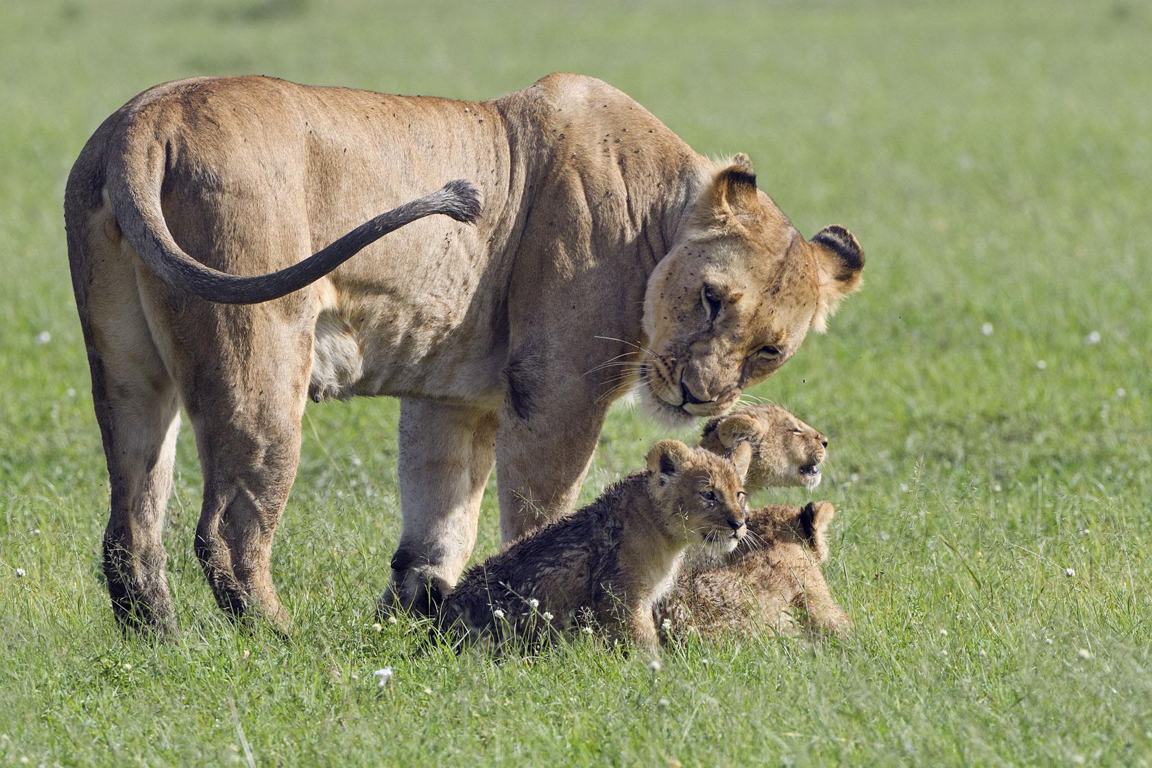 Die Löwin versucht ihre quirligen Babys beisammen und in ihrer Nähe zu halten, was ihr allerdings erst einmal nicht gelingt