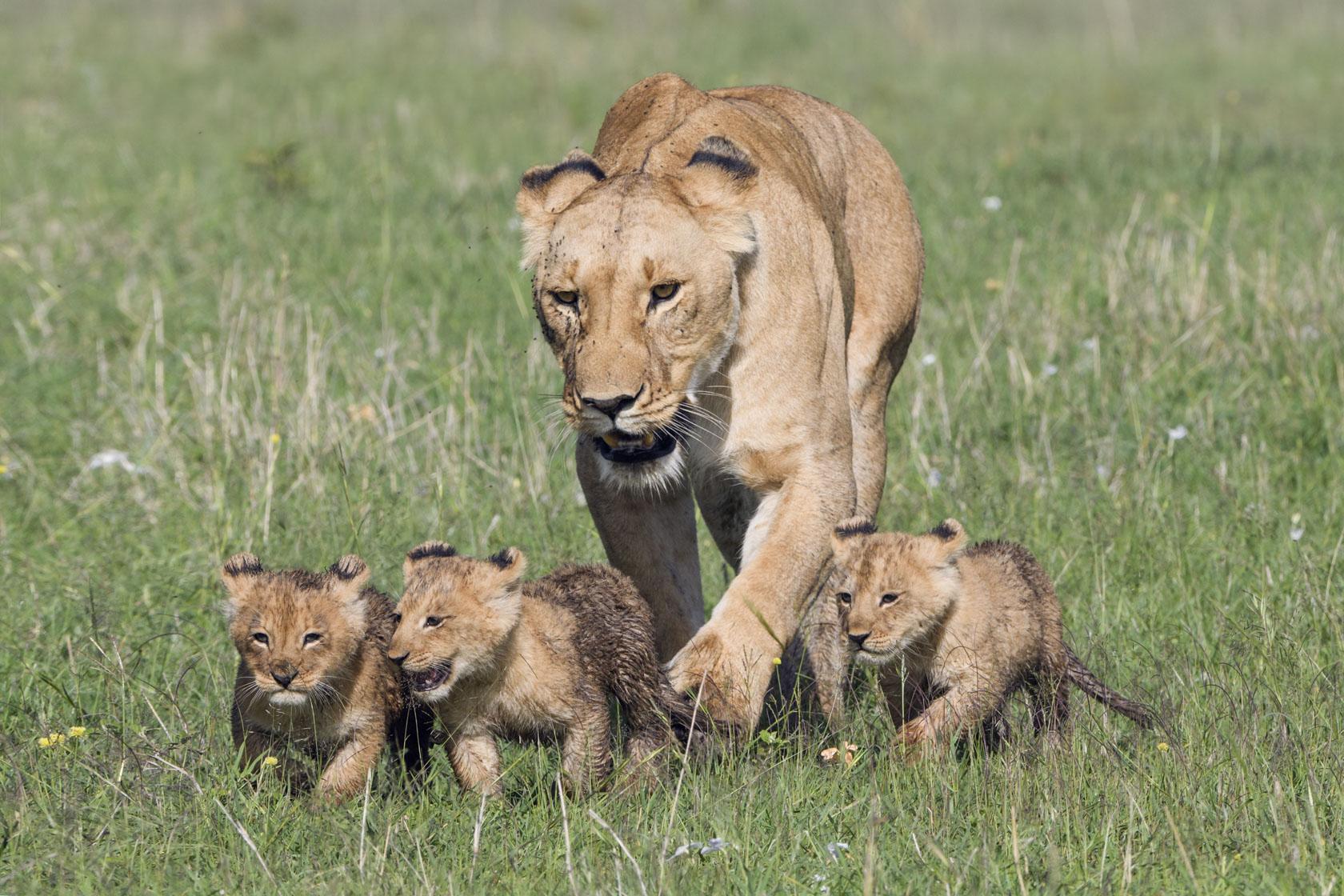 Im feuchten Gras bleiben die kleinen Löwen auch erst mal bei der Mutter…