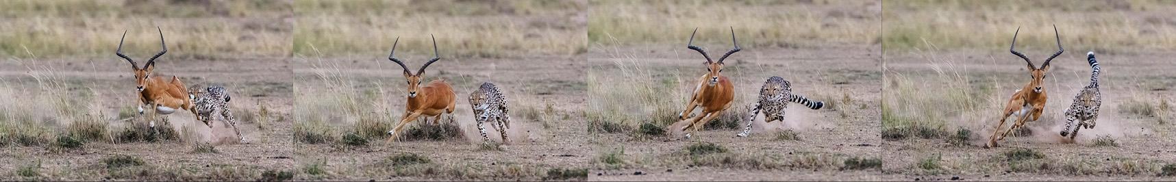 Die weiten Sprünge und Richtungswechsel des Impalas machten es dem Geparden unmöglich, ihr von hinten die Läufe wegzuschlagen