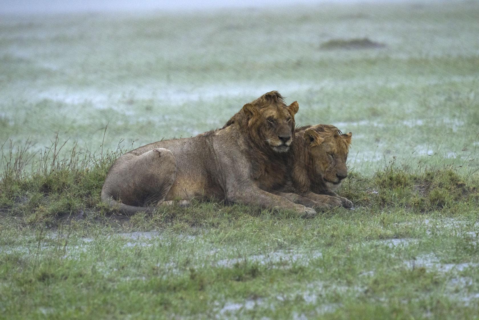 Als der Regen nach einer Stunde langsam nachlässt, ist aus der Savanne ein knöcheltiefer Schlammsee geworden