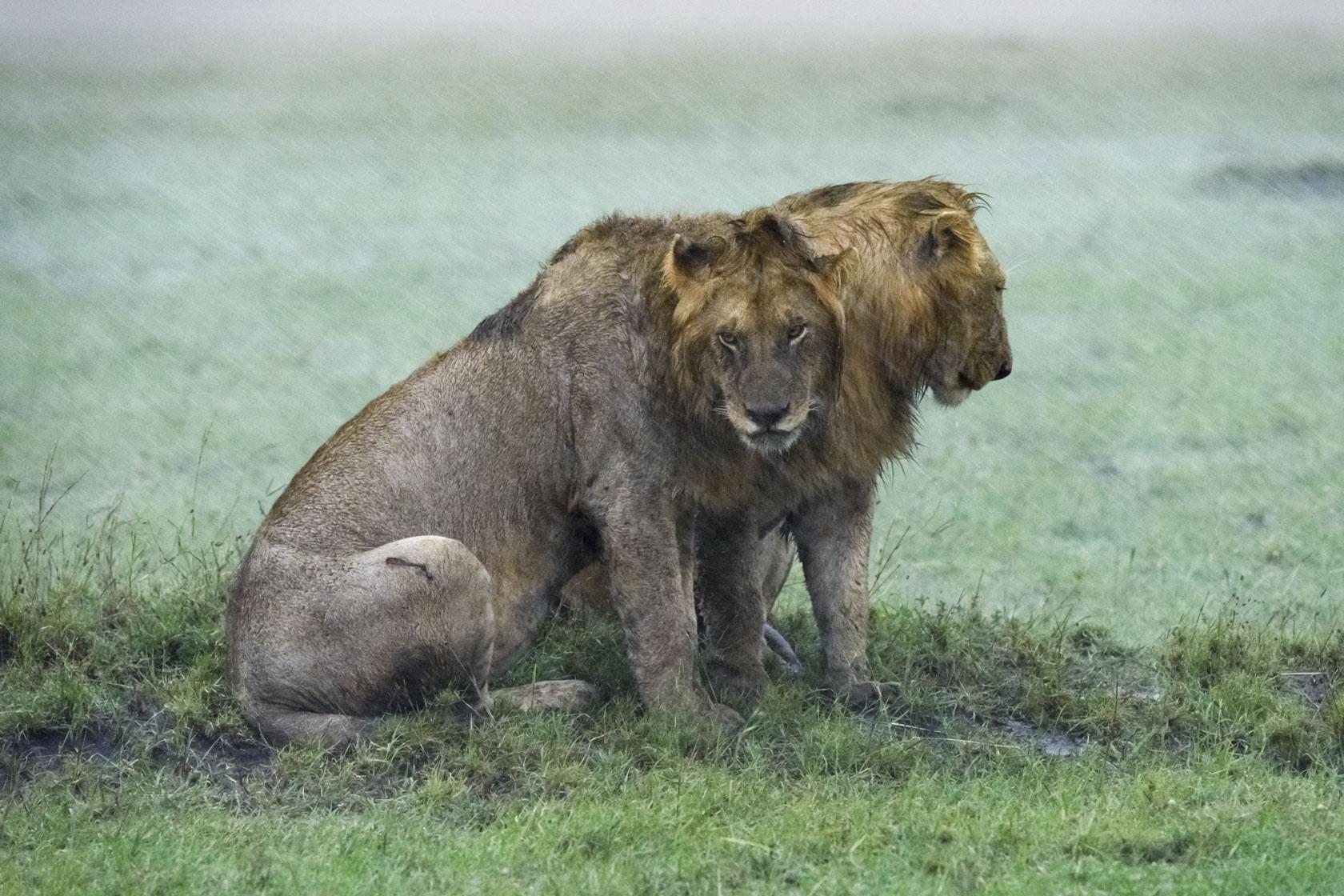 Die Löwen scheinen auch nicht wirklich amüsiert von diesem Wetter zu sein