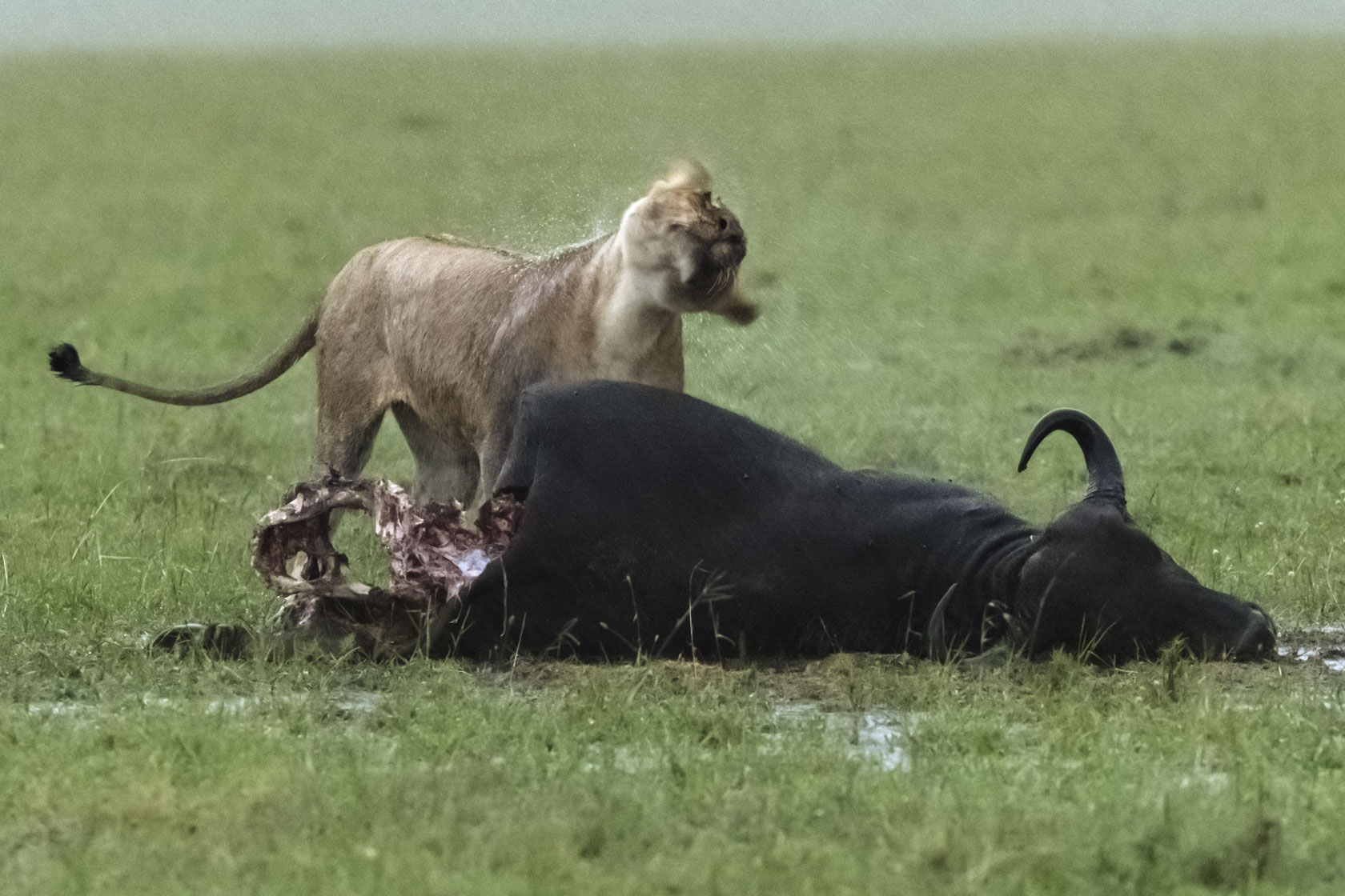 Der Hunger war stärker als die Angst, von den männlichen Löwen schwer verletzt oder gar getötet zu werden, denn während des Regens hat sich die Löwin ausgiebig über den Büffelriss hergemacht