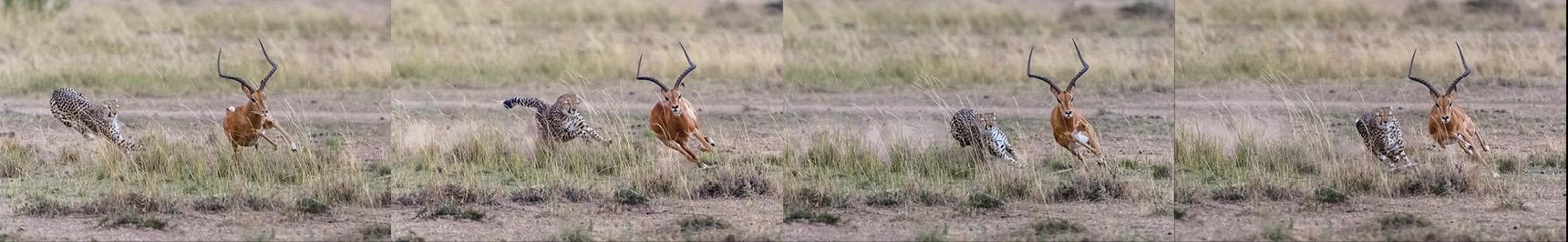 Der Gepard stürmt mit hoher Geschwindigkeit auf das Impala zu