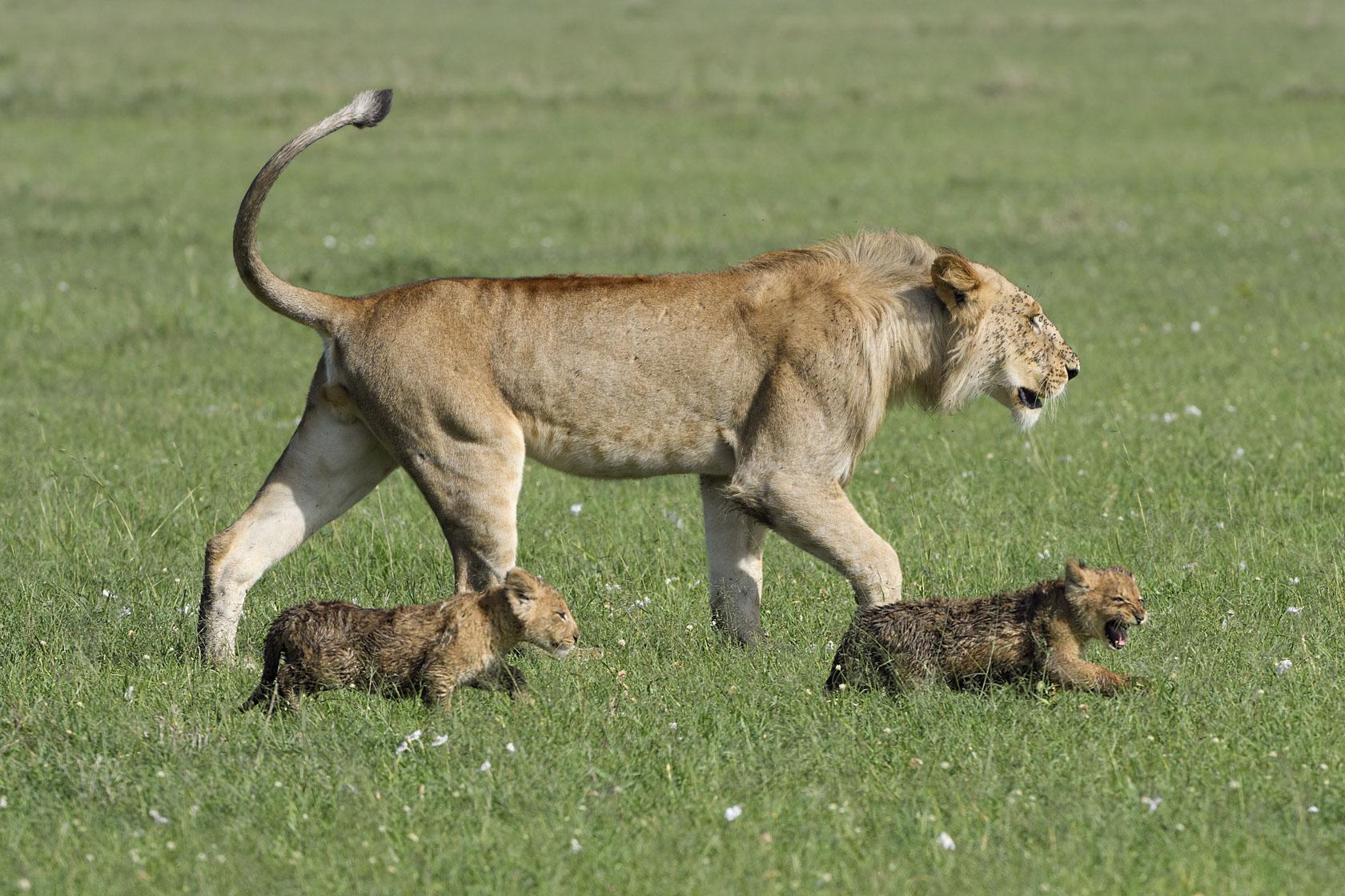Zwei der Babys stört das aber überhaupt nicht und sie trotten dem älteren Bruder (oder Onkel) bereitwillig hinterher