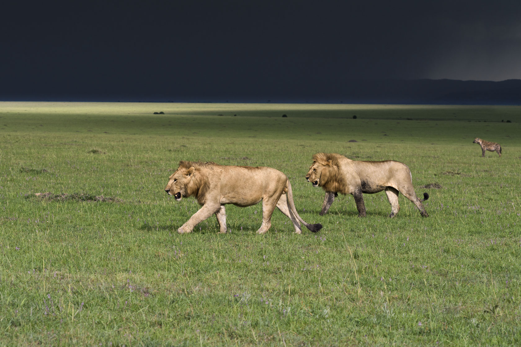 Aus der Serengeti in die Masai Mara eingewanderte Löwennomaden – vier junge Männchen, mutmaßlich Geschwister oder Cousins