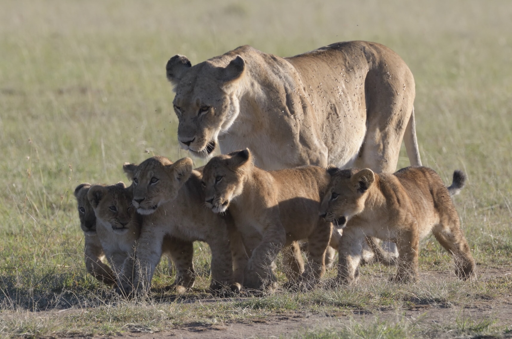 Löwenrudel Masai Mara