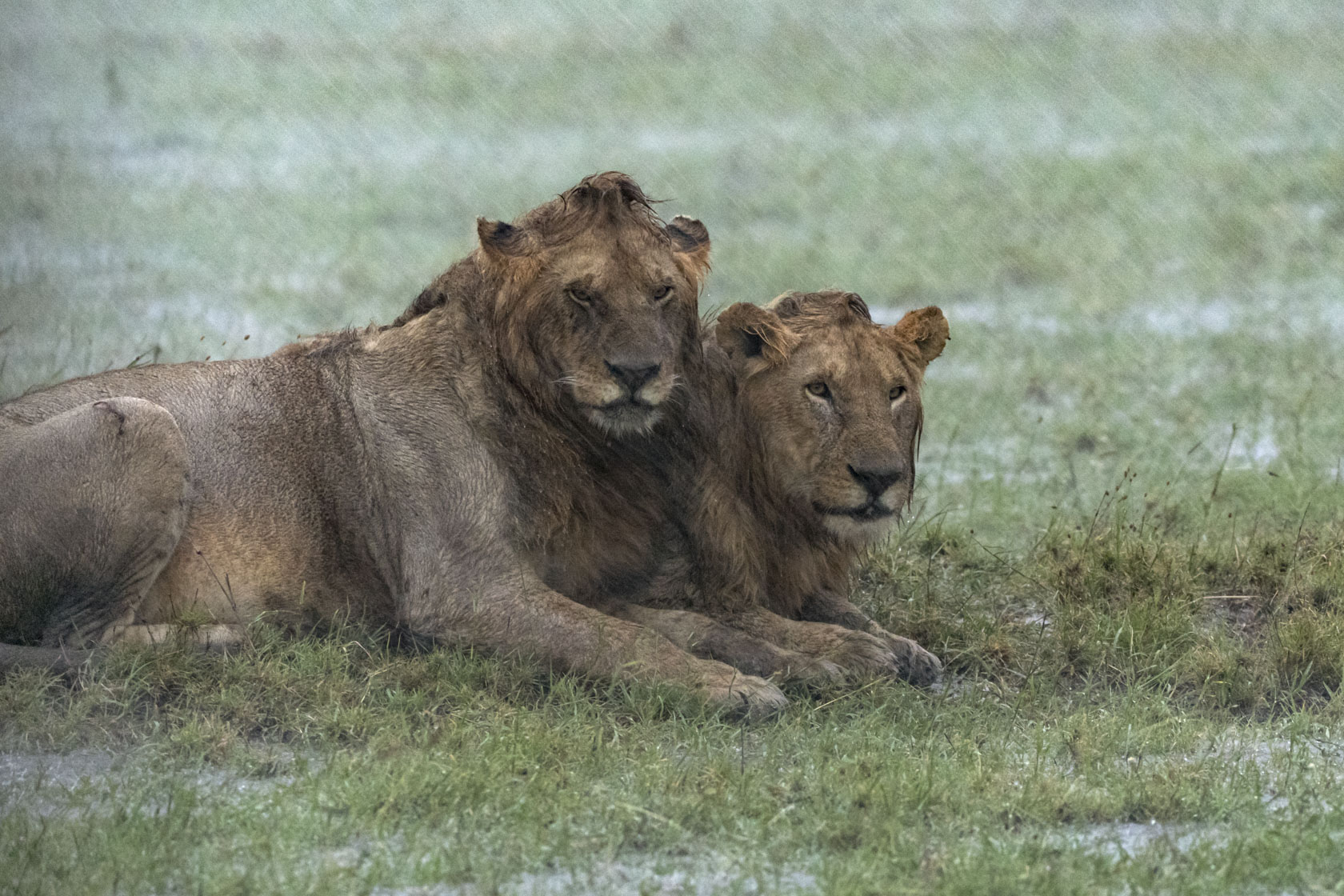 Das Bad hatte zumindest den Vorteil, dass die Löwen nun Fliegen- und Zeckenfrei in ihren Gesichtern sind