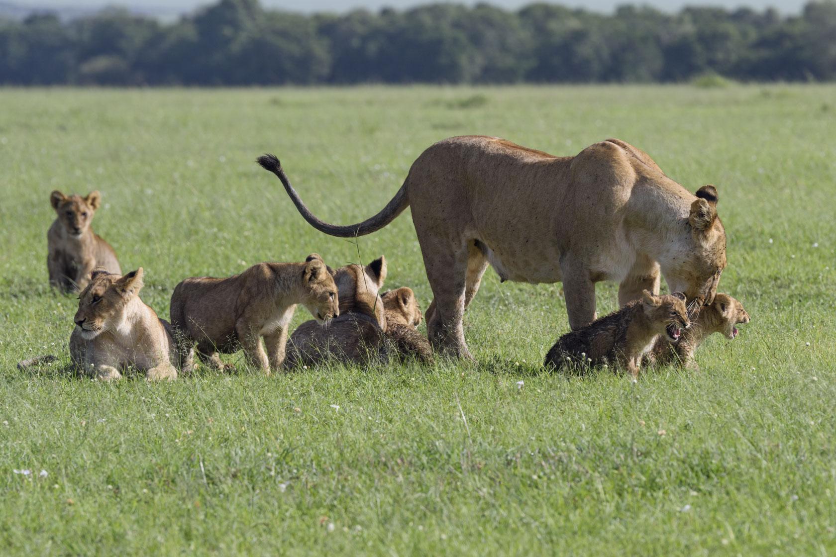 Wenige Tage später kehrt eine weitere Löwin mit ihren vier, etwa 4 – 5 Wochen alten Babys, dem jüngsten Nachwuchs von Lipstick oder Black, in das Rudel zurück.