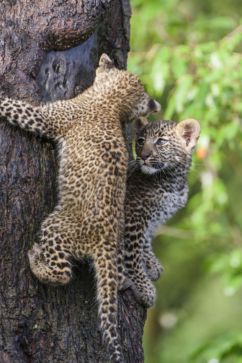 """Leopardin, genannt """"Bahati"""" in der vorangegangen Serie vom März am Riss und jetzt im November mit ihren beiden, ca. 10 Wochen alten Babys. @ by Uwe Skrzypczak"""