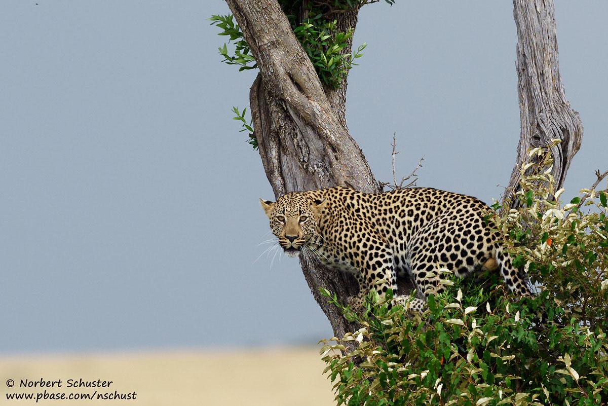 Leopard im Baum, Nikon D810, AF-S Nikkor 400mm F 2.8E FL ED VR, 1/500 F5.0 ISO 220