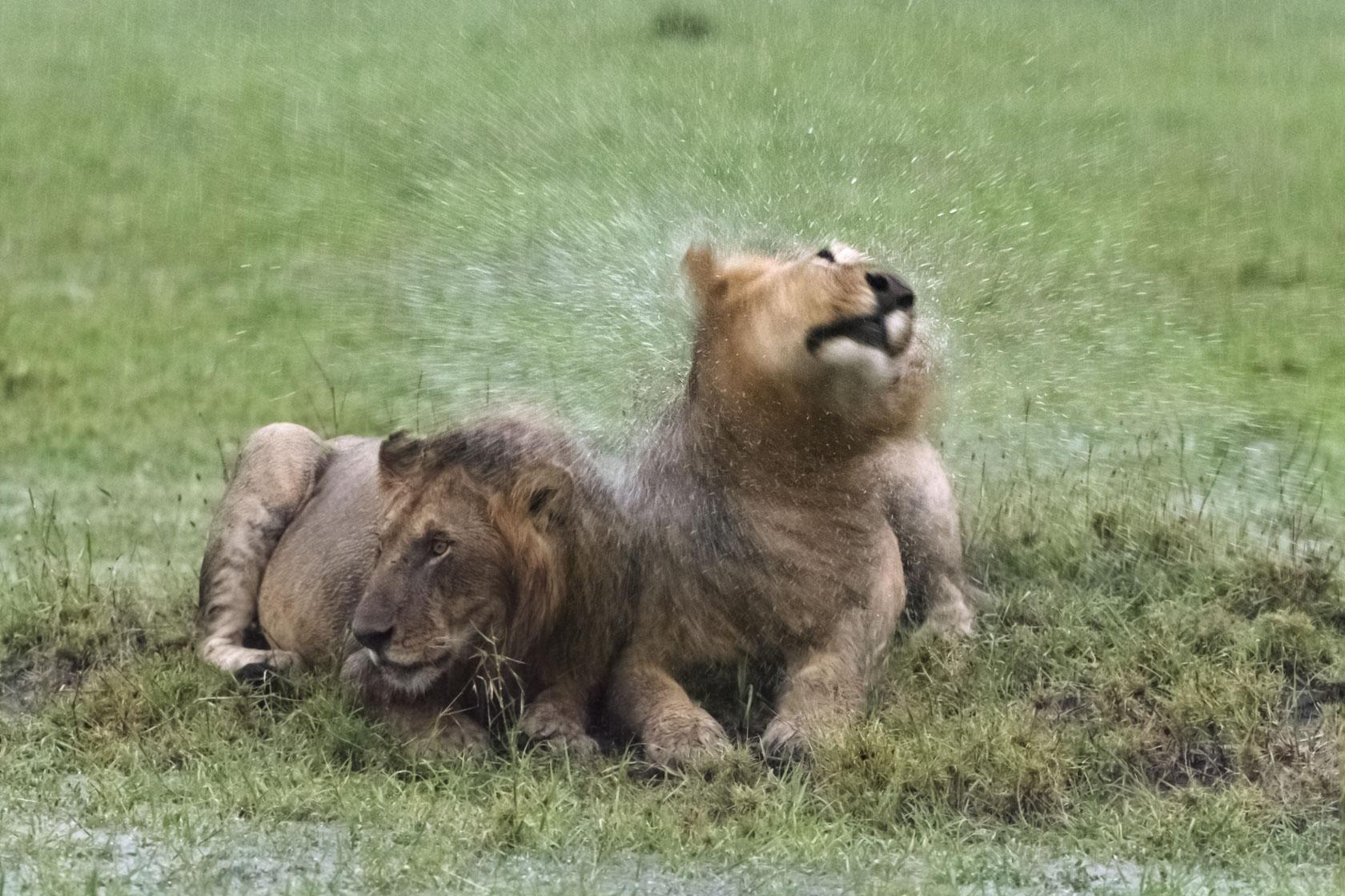 Den anderen Löwen scheint auch diese neuerliche Dusche nicht zu beeindrucken