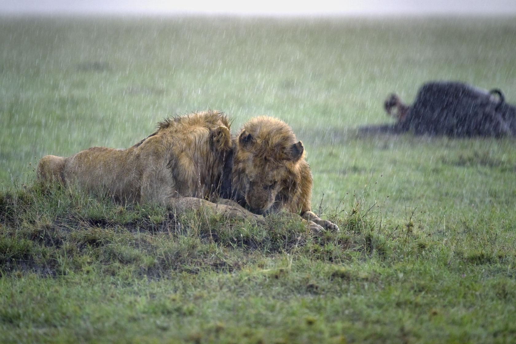 Als der Gewittersturm richtig los geht, rücken die Löwen in Sichtweite ihres Büffelrisses immer näher zusammen, es wird zusehends dunkler und die benötigten ISO-Werte zum Fotografieren gehen langsam in Bereiche, die man zu Analogzeiten gar nicht kannte