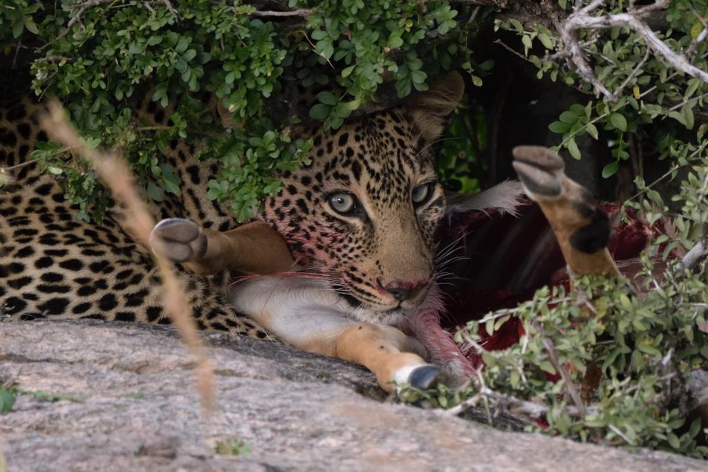 Sehr scheue junge Leopardin unter einem Busch am Riss