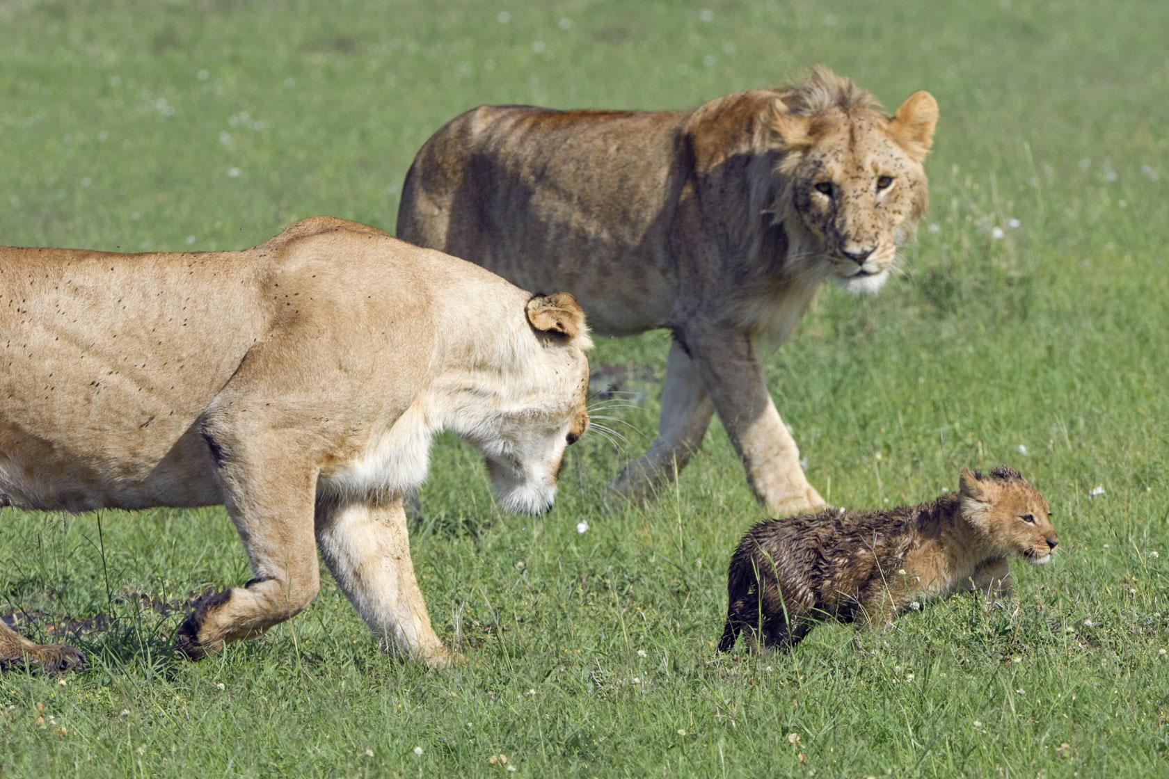 Hier versucht die Löwin einen ihren älteren Söhne (oder Neffen) von den kleinen Fernzuhalten