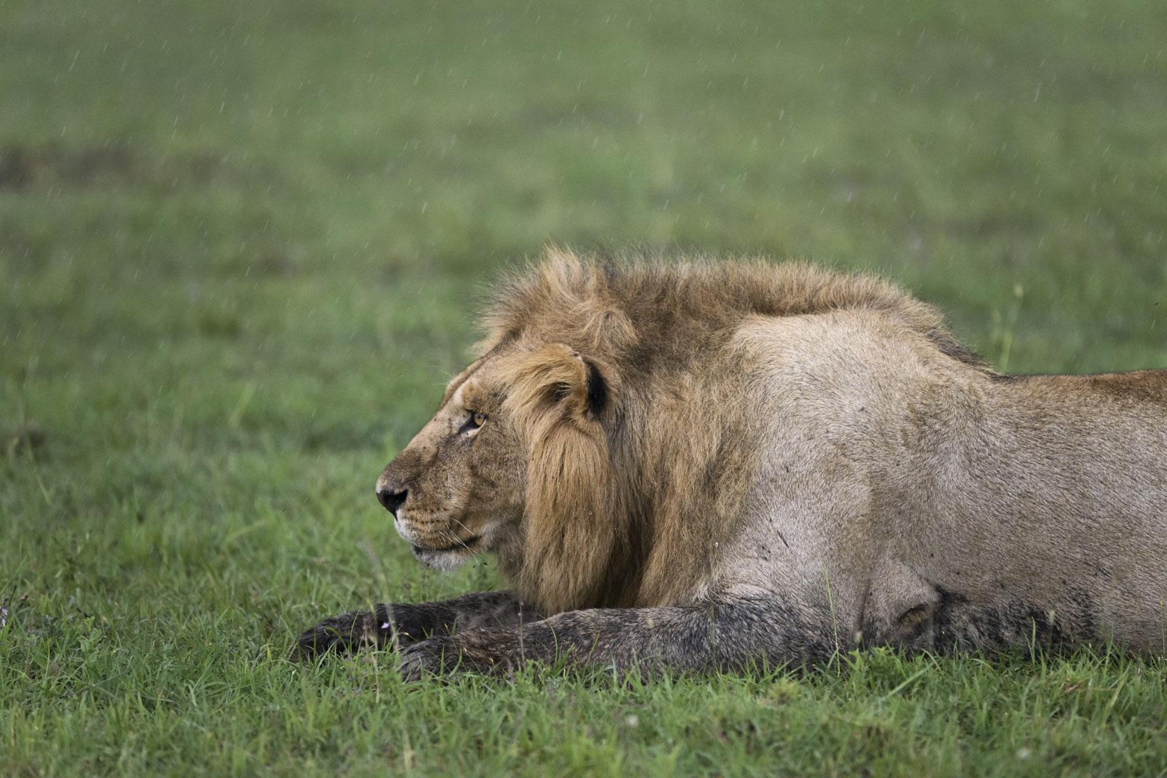 Der dominanteste der Löwen reagiert bei einsetzendem Regen äußerst aggressiv auf jedwede Bewegung in seinem Umfeld – hier im besonderen auf uns Fotografen in den Fahrzeugen