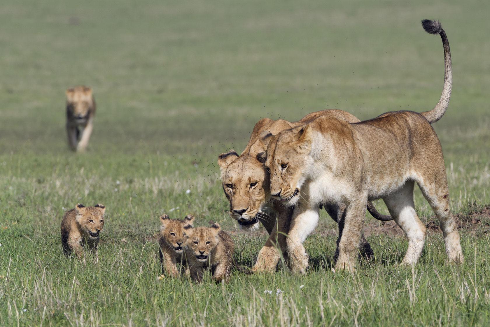 Auf dem Weg in ein schattiges Versteck im Uferdickicht einer Lugt läßt die Löwin eine ältere Tochter nahe an sich und die Babys heran…