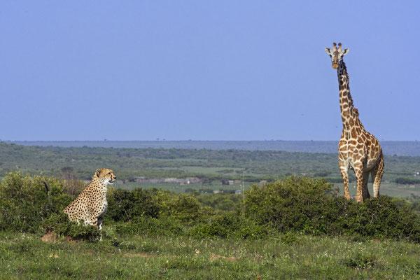 Malaika mit eine Giraffe, die sie sehr genervt hat. Sie lag mit ihren Jungs auf der Lauer um eine Herde Impalas zu attackieren, aber die Giraffe wich nicht von ihrer Seite und warnte alle anderen Tiere in der näheren Umgebung vor der Gefahr .