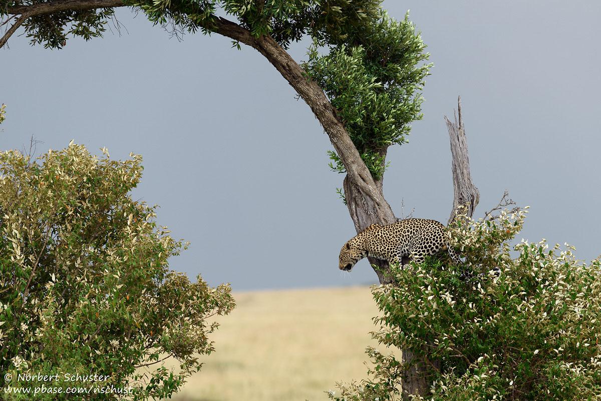 Leopard absprungbereit. Nikon D810, AF-S Nikkor 400mm F 2.8E FL ED VR, 1/800 F5.0 ISO 360