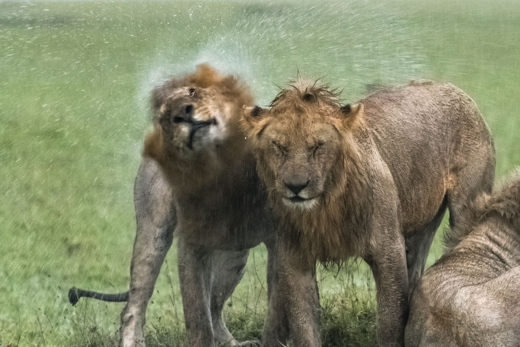 Beim Aufstehen verteilt auch der dritte Löwe reichlich Wasser auf seine Kollegen