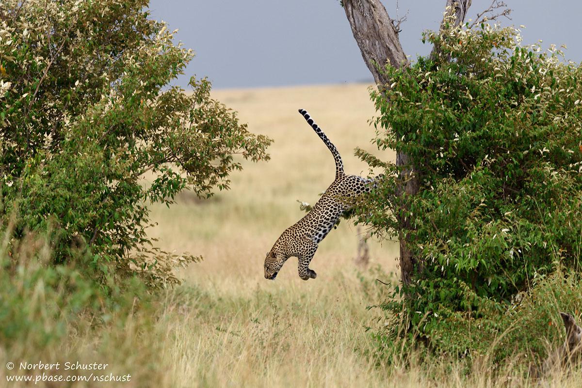 Leopard im Sprung, Nikon D810, AF-S Nikkor 400mm F 2.8E FL ED VR, 1/800 F5.0 ISO 360
