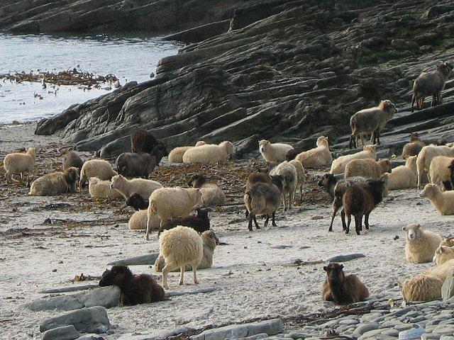Weiße, graue und braune Schafe, die sich von Algen ernähren, liegen oder laufen an einem Sandatrand mit Felsen