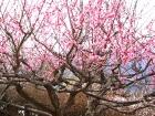 梅祭り・椿まつり