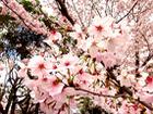 北摂の桜まつり&お花見