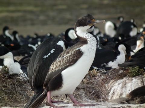 ... Königskormorane in einer Kolonie auf im Laufe der Jahre in die Höhe gewachsenen Nestern