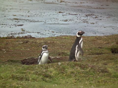 Magellan Pinguine brüten in Erdhöhlen, ...